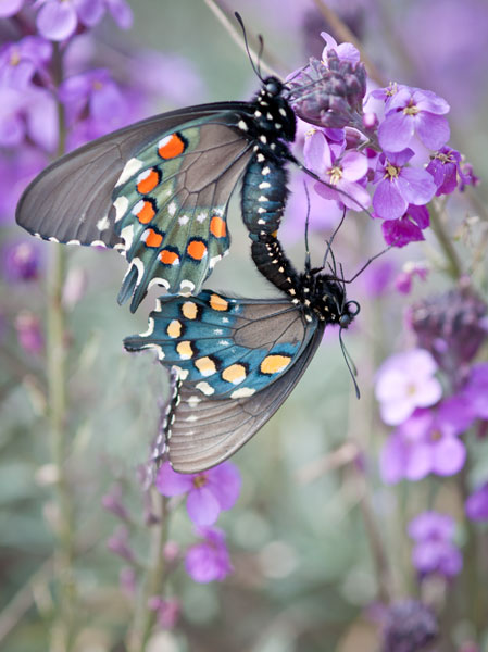 pipevine swallowtail butterflies